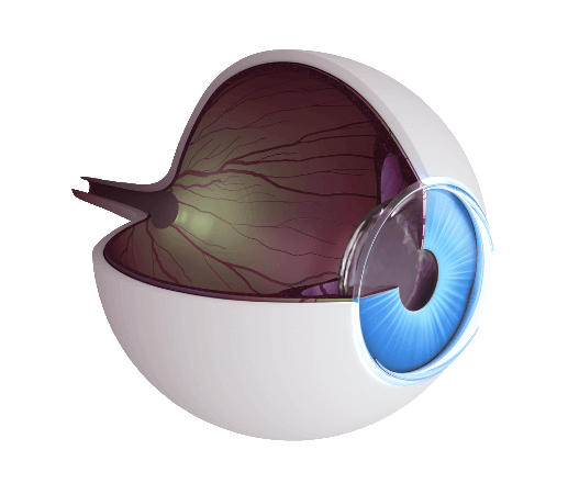 Eye model cutaway showing retina, optic nerve, lens and iris